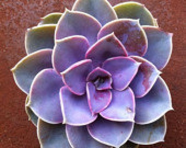 Succulent Plant Echeveria Perle Von Nurnberg Beautiful Vibrant